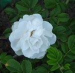 rosa-rugosa-kurnik14-czerwiec-2008-037.jpg