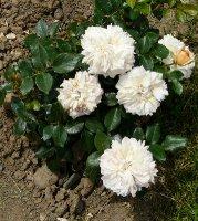garden-of-roses2a