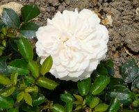 garden-of-rosesa