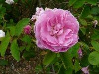 rosa-centifolia-cristata-a
