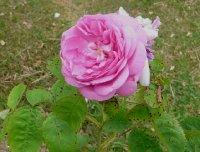 rosa-centifolia-cristata1a