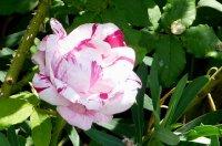 variegata-di-bologna-a