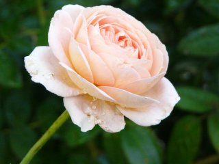 abraham-darby-a