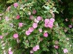 rosa-centifolia-parviflora-2.jpg