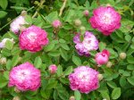 rosa-centifolia-parviflora.jpg