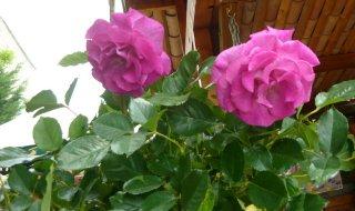 violette-parfumea