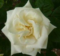white-knighta