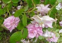 rose-de-quatre-saisons1a