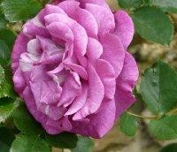 violette-parfumee-clg-a_0