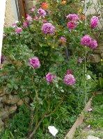 violette-parfumee-clg-aa_0
