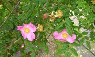 rosa-coryana