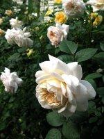 crocus-rose2