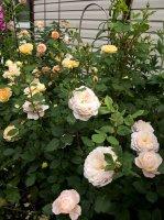 crocus-rose3