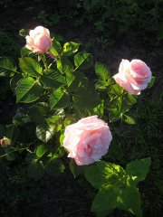 aphrodite-rosen-tantau-2006