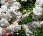 aspirin-rose-ogrod-botaniczny-warszawa.jpg
