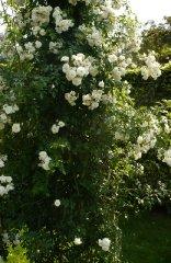 sanders-white-rambler