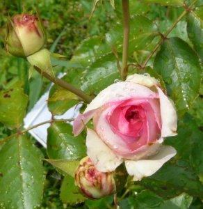 eden-rose-powsin-2.jpg