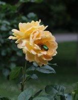 bernstein-rose-966