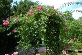 american-pillar-ogrod-botaniczny.jpg