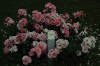 rosenprofesor-sieber-1114