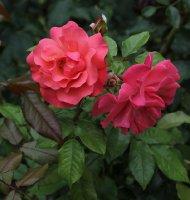 rosenresli-052