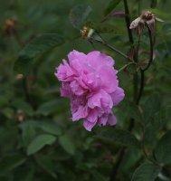 the-mayflower1477