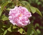 damask-rose-quatre-sesons.jpg