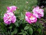 rosa-gallica-versicolor-wladzi.jpg
