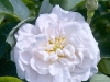 alba-maxima-flower-flowers-hyde-hall-england-rhs-garden.jpg
