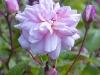 cecile-bruner-lower-flowers-hyde-hall-england-rhs.jpg