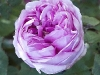 flower-flowers-hyde-hall-england-rhs-garden-gardens-pink-rosa-ma.jpg
