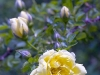 flower-flowers-hyde-hall-england-rhs-garden-gardens-pink-rosa-sc.jpg
