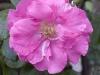chaplins-pink-climber-2-kew-garden-london.jpg