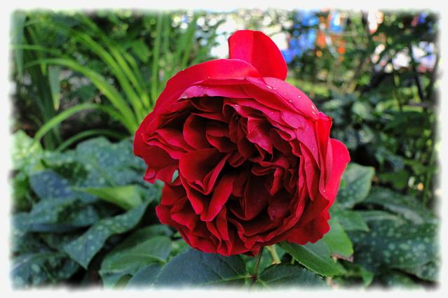 moje r e moja pasja blog archive red eden rose. Black Bedroom Furniture Sets. Home Design Ideas