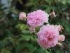 rosarium-uetersen-04