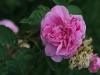 rosa-centifolia-major-aa