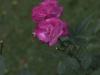 rosa-chinensis-1759r-994
