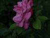 rosa-chinensis-1759r-995