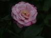 rosa-chinensis-1759r