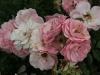 rosenprofesor-sieber