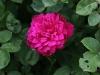 sophys-rose-1484