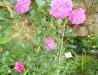 violette-parfumee-clg-a