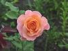 rosemary-harkness
