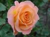 rosemary-harkness2