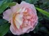 rosemary-harkness3