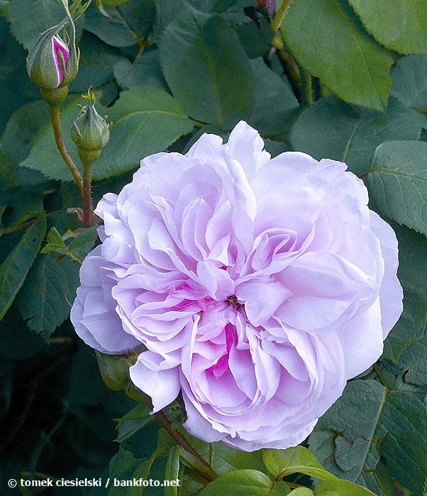 fantin-latour-flower-flowers-hyde-hall-england-rhs.jpg