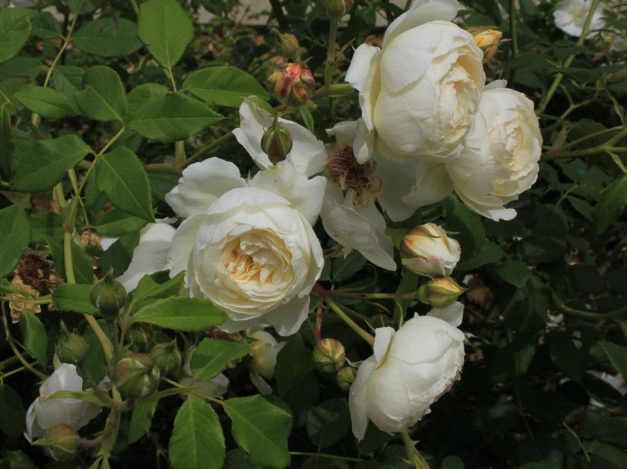 roses claire austin