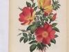 capucine-jaune-bicolore-1890-2