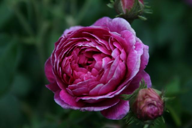 sekel rose lundstad