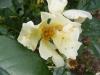 bloomfield-dainty2
